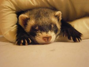 Ferret care in Joplin MO