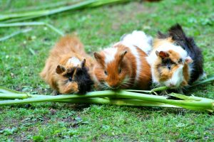 Guinea Pigs care at cornerstone animal hospital