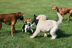 How Frequently Does A Dog Need A Bordetella Vaccine Joplin MO