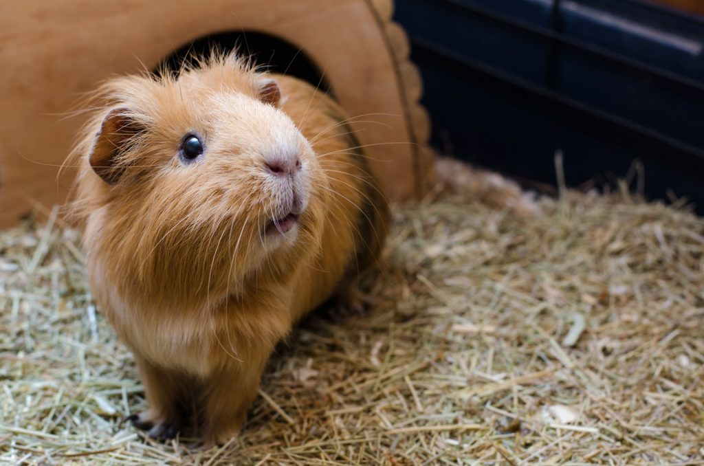 Importance of Veterinary Care for Pocket Pets