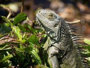 National Iguana Awareness Day- Sept 12, 2020