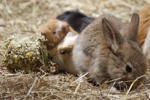 Rabbits and Guinea Pigs Do they have dental disease