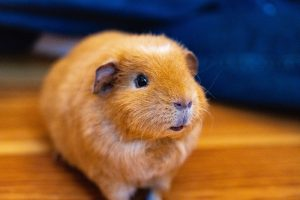 March is Adopt a Guinea Pig Month