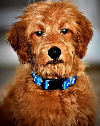 Goldendoodle Charley